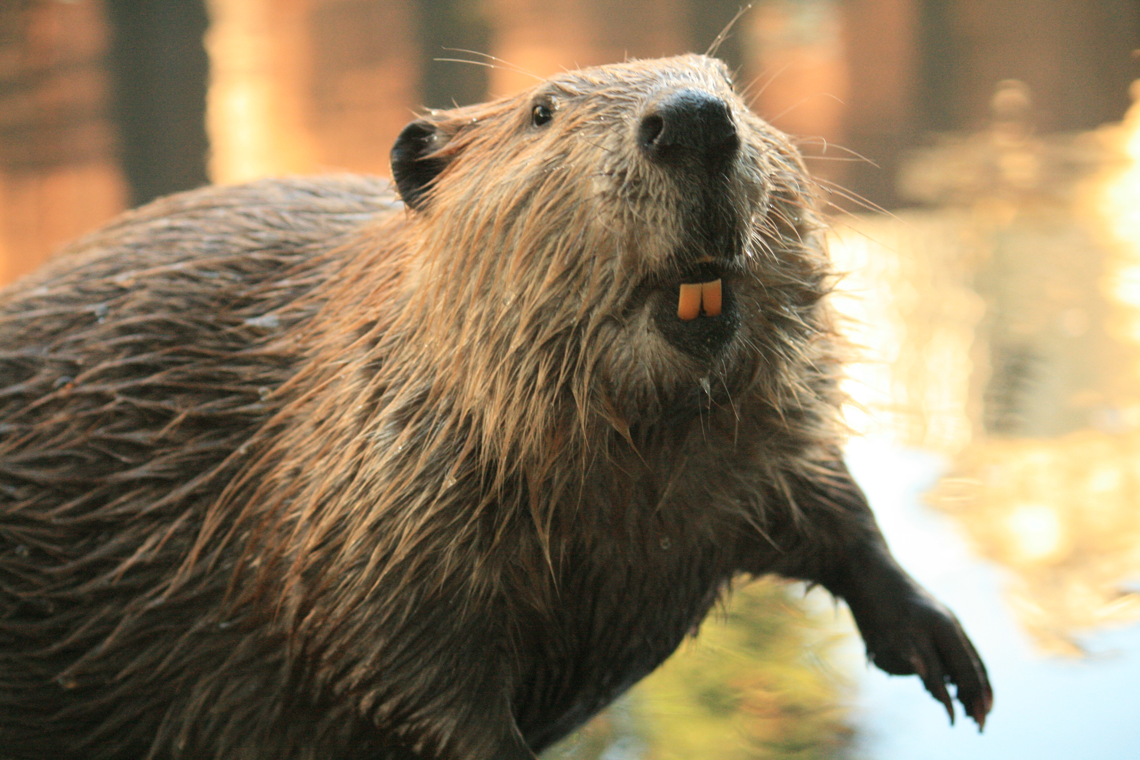 A Beaver's Teeth Beave r teeth turn orange from