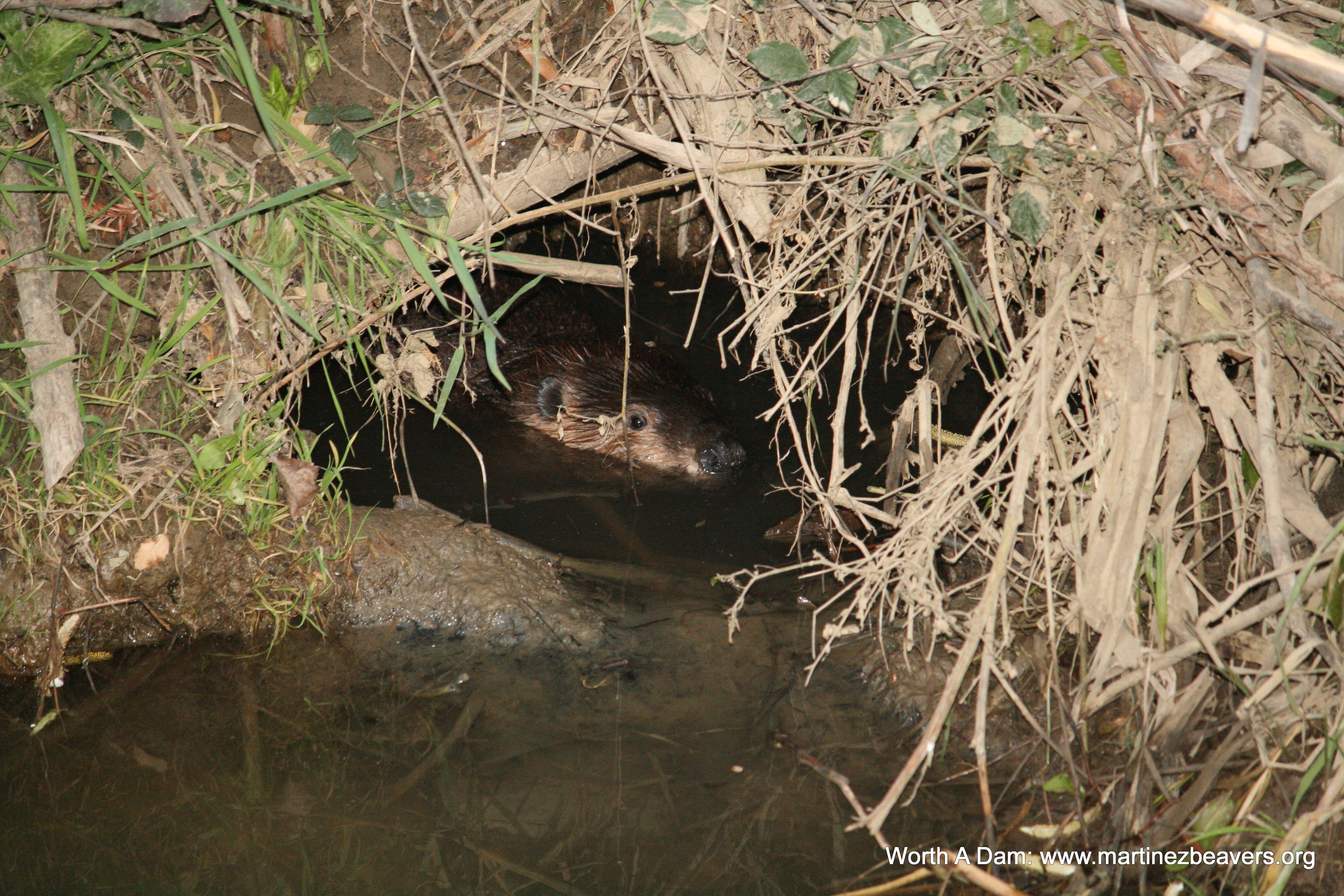 Inside a beaver lodge - photo#1