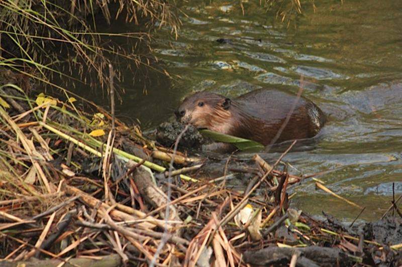 How beavers plug pipes - Cheryl Reynolds