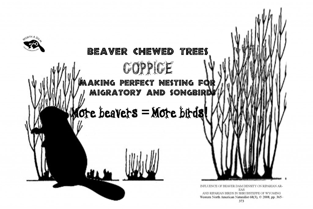 coppice beavers