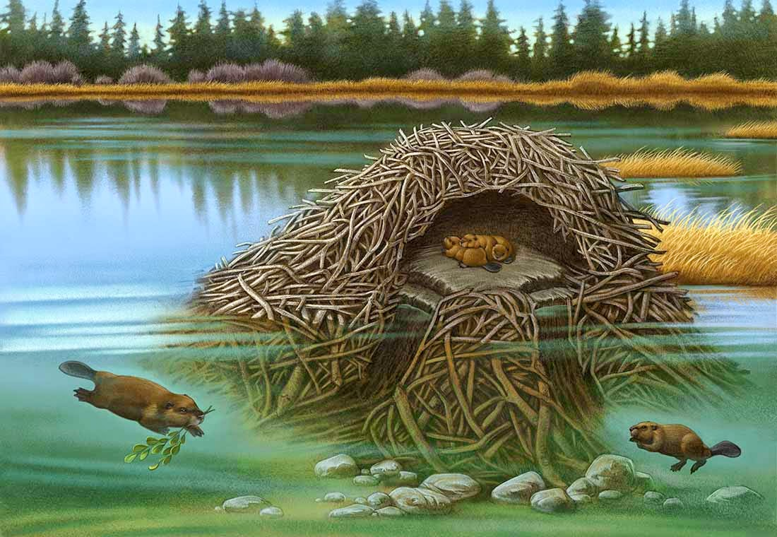 Inside a beaver lodge - photo#51